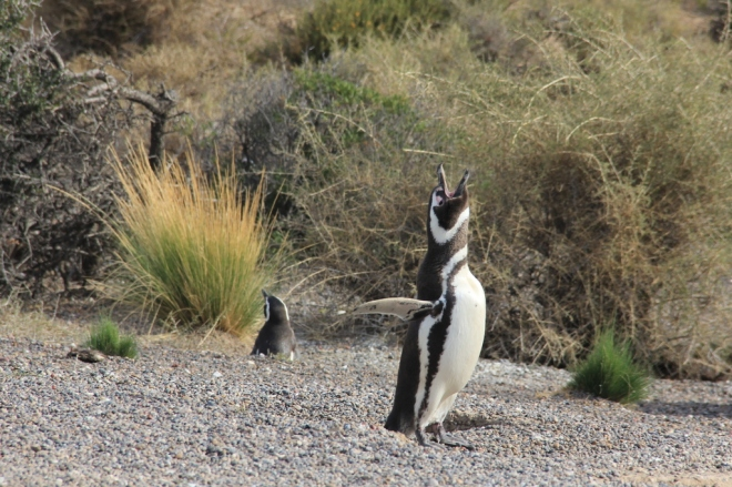 Punta Tombo - Pinguins de Magalhães (13)