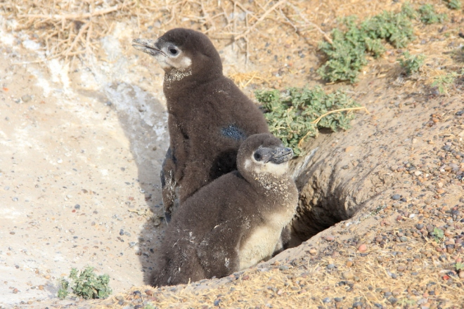 Punta Tombo - Pinguins de Magalhães (17)