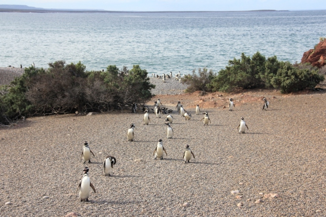 Punta Tombo - Pinguins de Magalhães (20)